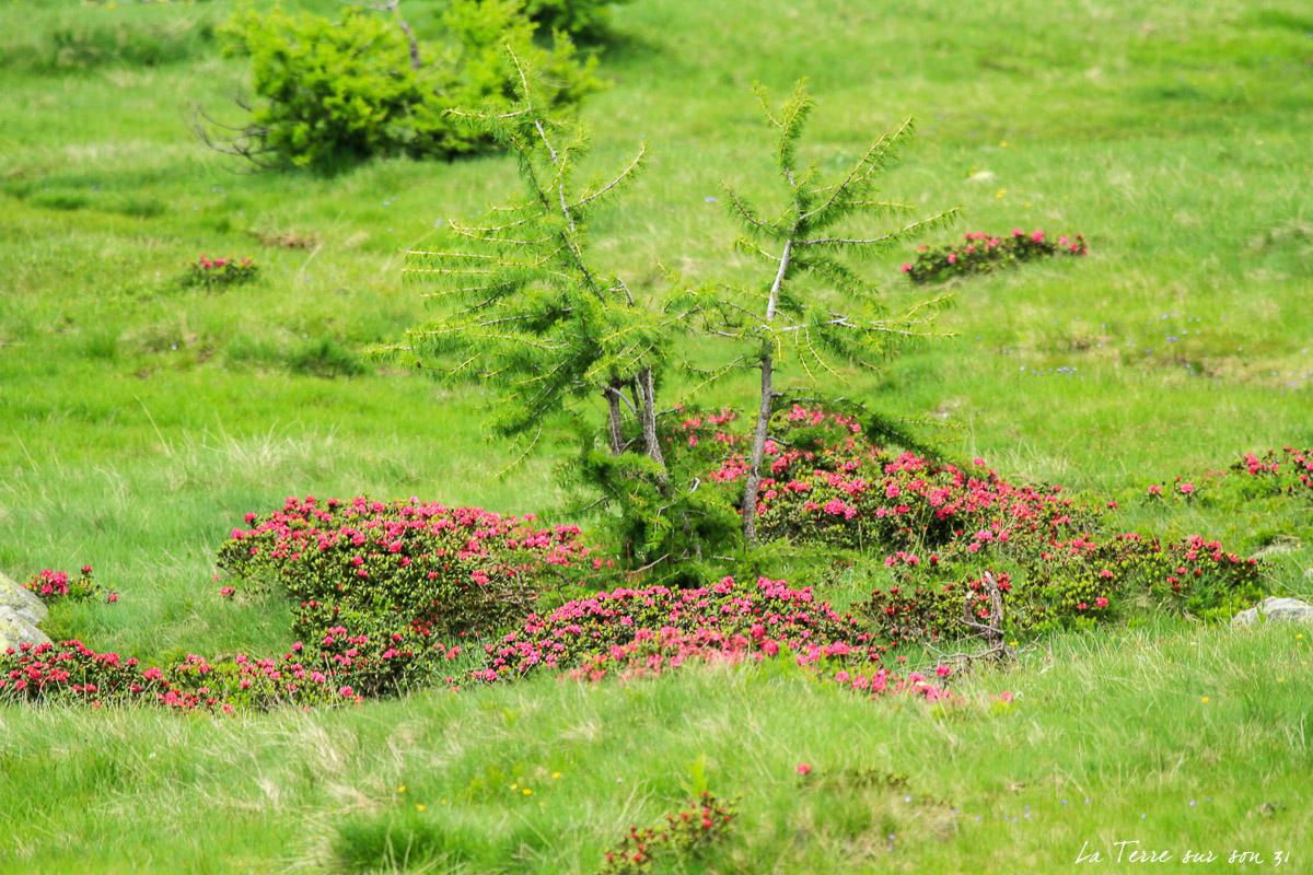 rhododendrons lacs de prals